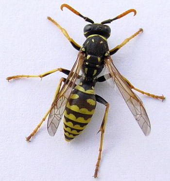 wasp even the name strikes terror